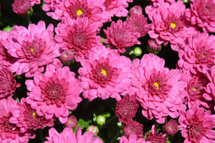 Photo of Pink Mums